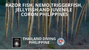 Razor fish nemo triggerfish jellyfish and juvenile has Coron Philippines Thailand Diving Pattaya