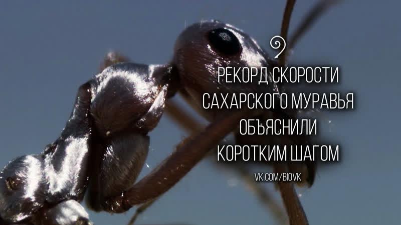 Сахарский серебряный муравей Cataglyphis bombycina