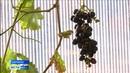 В теплице сыктывкарского сельхозпредприятия вырос виноград