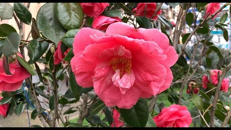 Весна в Батуми и красивая грузинская песня გაზაფხული ბათუმში და ულამაზესი ქართული სიმღერა