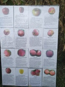 Уважаемые садоводы! Ждём вас на дегустацию яблок осенних и зимних сортов. После дегустации можно буд