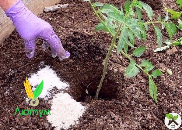 подкормка рассады томатов луковым настоем