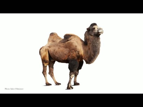 Latif Nasser You have no idea where camels really come from.