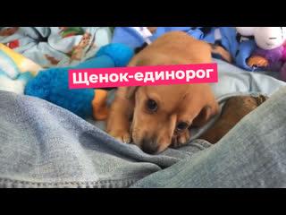 В США нашли щенка с хвостом на лбу