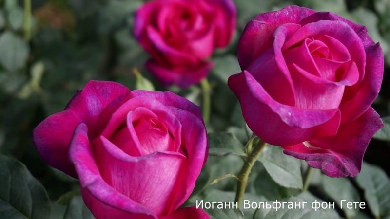 Роза Иоганн Вольфганг фон Гете - Johann Wolfgang von Goethe.(Evers Германия, 2004)