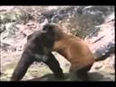 Горилла против медведя Бои животных Gorilla vs Bear