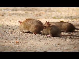 Крыса в деле (познавательное видео о крысах)