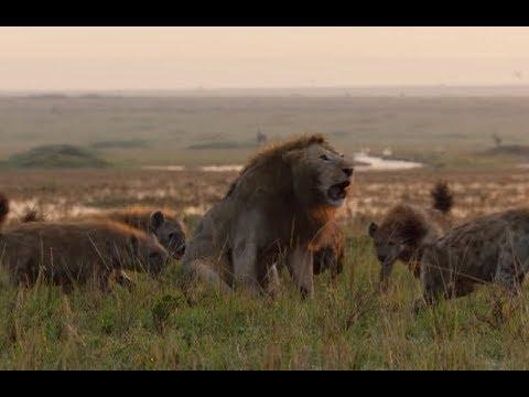Боже помоги Королю Льву уничтожить Гиен. Эпическая Битва Льва против Гиен!
