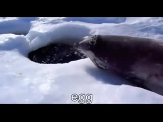 Seal wants eggs and love