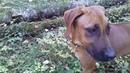 Прогулка с щенком Родезийского риджбека