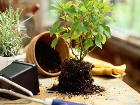 Как ПРАВИЛЬНО пересадить комнатное растение Transplanting plants Пересадка растений ksu66a