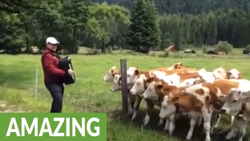Grazing cows rush to listen to accordion music