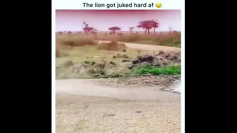 А мимо проносится лев.Видео прикол
