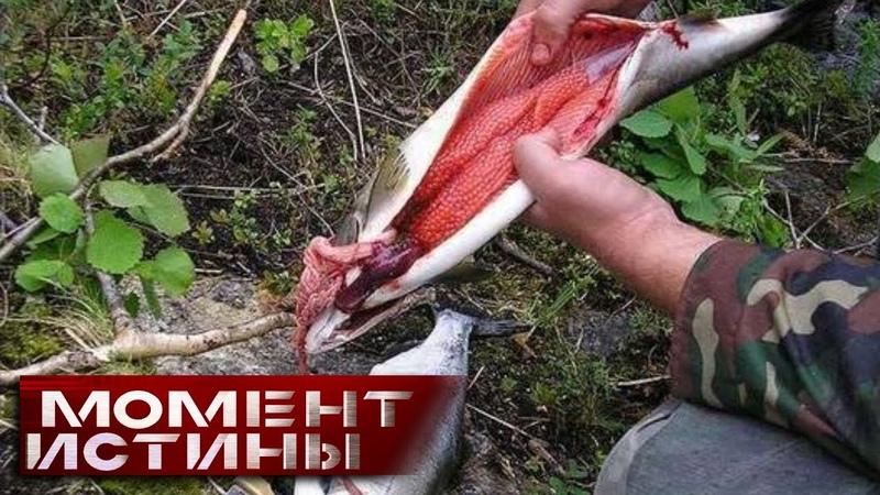 «Вылов запрещён, но не для всех»: Как браконьеры навариваются на нелегальной икре исчезающих видов?