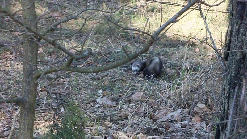 Хорёк Фретка в лесу