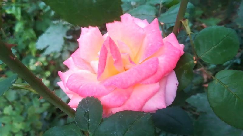 Кариоптерис лилейники флоксы эхинацеи шалфей змеиная кожа седумы многолетние астрочки розы