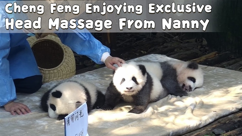 Cheng Feng Enjoying Exclusive Head Massage From Nanny iPanda
