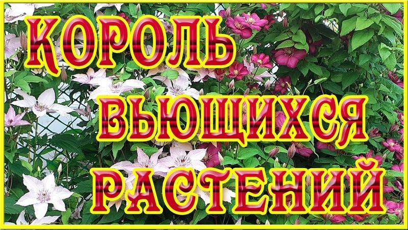 Клематис король вьющихся растений Натуральные фоновые футажи Клематисы Видеофоны для монтажа