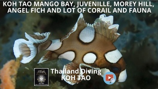 koh tao mango bay, juvenile, morey eel, angel fish and lot of corail and fauna with Thailand Diving