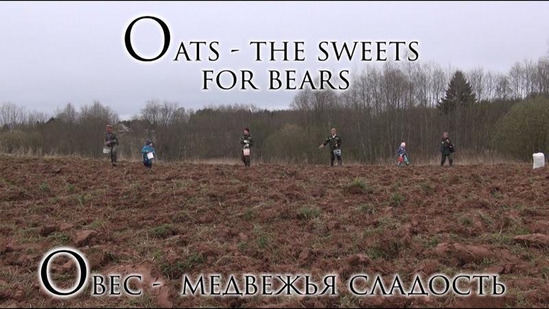Овес медвежья сладость Oats the sweets for bears