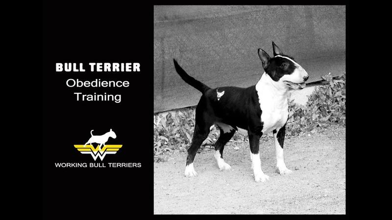 Bull Terrier Obendience training first steps