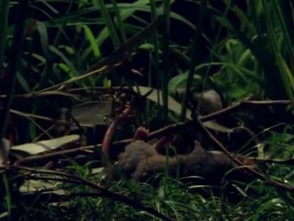 Эти загадочные животные BBC Weird Nature 3 Bizarre Breeding