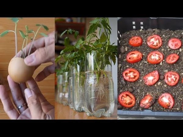 3 Cách Dễ Nhất Để Trồng Cà Chua Tại Nhà   3 Easiest Ways How To Grow Tomatoes At Home