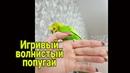Ручной попугай Волнистый попугай играет