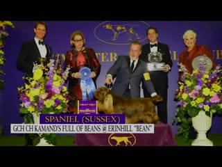 Bean the sussex spaniel wins the 2019 westminster kennel club dog show sporting group