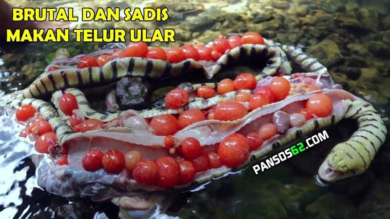 Panen Telur Ular Egg Snake Eating Untuk Konsumsi Brutal dan Sadis