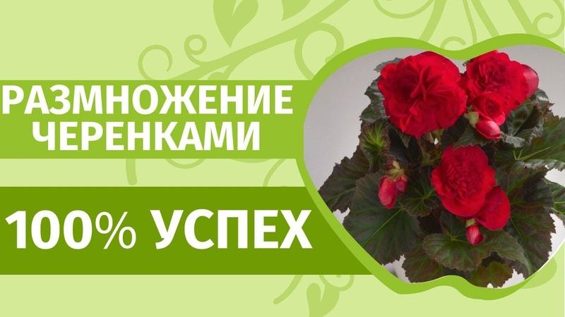 БЕГОНИЯ вечноцветущая Лучший способ черенкования с БИО препаратом Приживаемость гарантирована