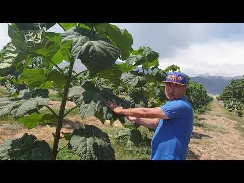 Первая плантация Павловнии на озере Иссык Куль, Киргизия 4.08.2019 - 1