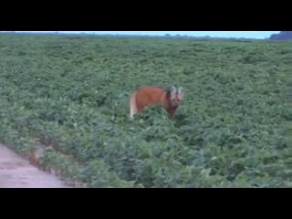 Videó: Одолень-трава