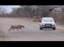 Король Лев против Тигра реальный бой ►► Леопард Гиена Мангуст змея лев тигр Буффало