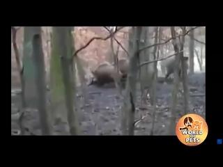 Питбуль спас хозяйку от диких кабанов.. пес герой