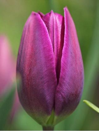 тюльпаны оптом красноярск из теплиц