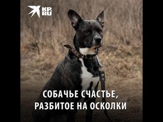 Собачье счастье, разбитое на осколки
