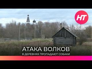 Старорусские деревни и поселки терроризируют волки