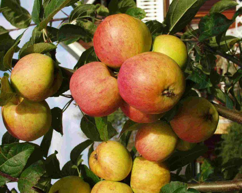 Huvitus яблоня