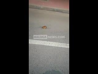 Огромная крыса в центре Калуги