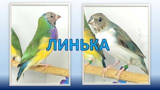 Линька у амадин - опасности и риски, как помочь птицам?