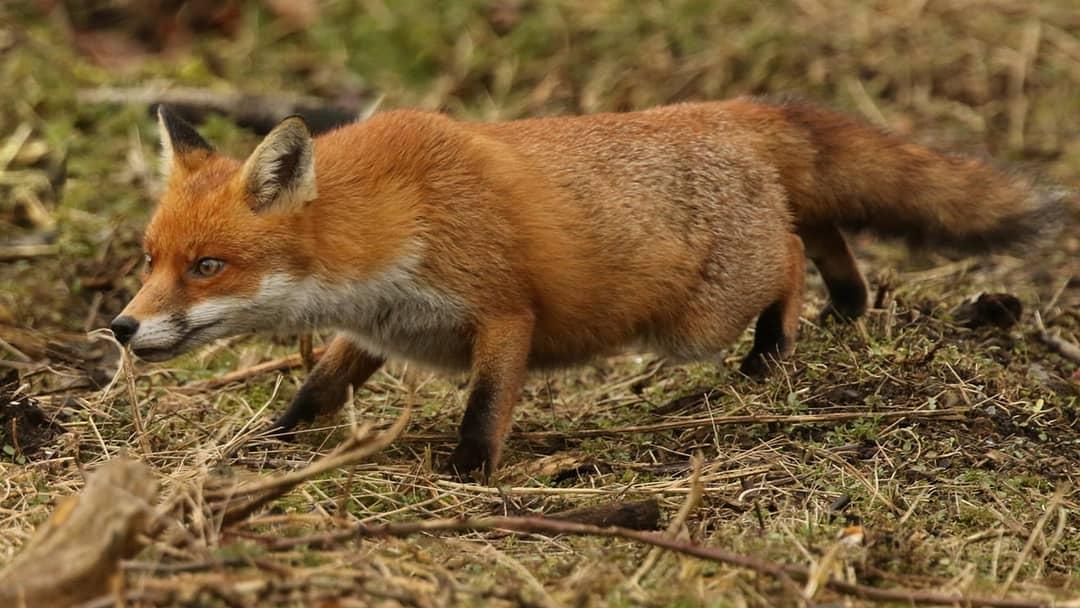 В последний октябрьский день в Саратовской области откроется осенне-зимняя охота на пушных животных