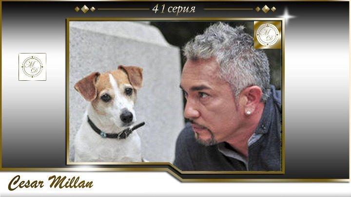 41 серия Сезар Миллан Переводчик с собачьего wiki taz pankin meddi
