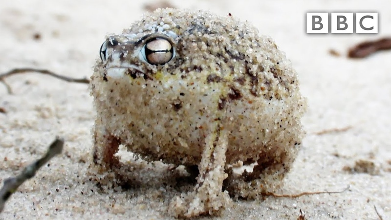 A tiny angry squeaking Frog 🐸 Super Cute Animals BBC