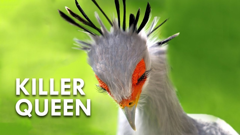 Secretary Birds Killer Queens