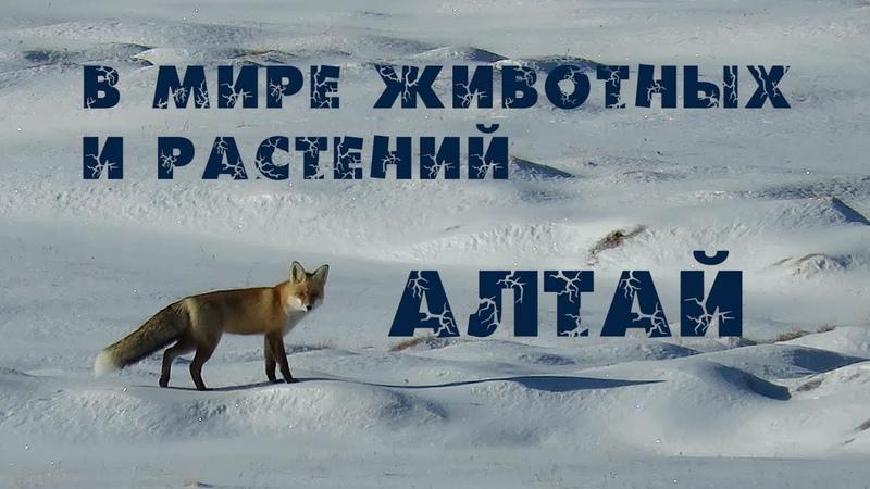 АЛТАЙ 2020 Сайлюгемский национальный парк Дикие животные России Неизвестная Сибирь Птицы Алтая