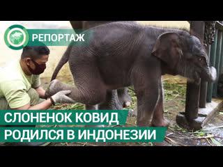 Слоненок Ковид появился на свет в Индонезии. ФАН-ТВ