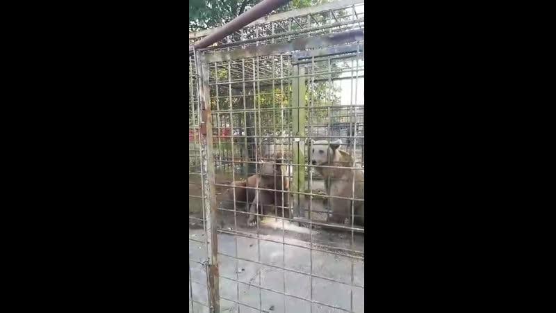 Появилось видео с места трагедии где медведи загрызли 11 летнего мальчика