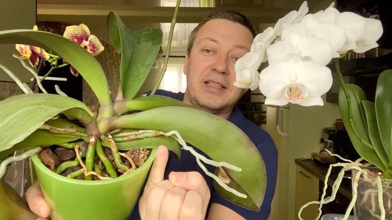 КОРНИ ОРХИДЕЙ ПРУТ с ПАЛЕЦ от КАМНЕЙ а цветонос орхидеи от ЧЕСНОЧНОЙ ВОДЫ